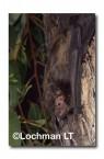 Falsistrellus mackenziei Western False Pipistrelle ZMY-628 ©Jiri Lochman- Lochman LT