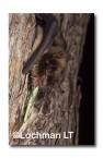 Falsistrellus mackenziei Western False Pipistrelle ZRY-978 ©Jiri Lochman- Lochman LT