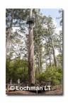 Bicentinneal Tree AED-028  © Marie LochmanLT