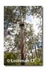 Bicentinneal Tree AED-029  © Marie LochmanLT