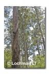 Bicentinneal Tree AED-030  © Marie LochmanLT