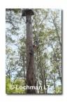 Bicentinneal Tree AED-031  © Marie LochmanLT