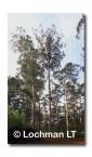 Bicentinneal Tree RW-642c © Jiri Lochman LT