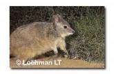 Rufous Hare Wallaby FXY-164 ©Marie Lochman- Lochman LT