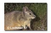 Rufous Hare Wallaby FXY-165 ©Marie Lochman-  Lochman LT.