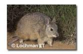 Rufous Hare Wallaby FXY-168 ©Marie Lochman-  Lochman LT.
