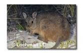 Rufous Hare Wallaby KKY-677 ©Jiri Lochman- Lochman LT
