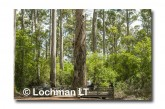 South- Warren NP- Bicentennial Tree AED-625 ©Marie Lochman- Lochman LT