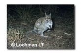 Spectacled Hare Wallaby HAY-526 ©Hans & Judy Beste-  Lochman LT.