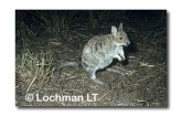 Spectacled Hare Wallaby HAY-528 ©Hans & Judy Beste-  Lochman LT.
