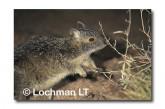 Spectacled Hare Wallaby XRY-118 ©Jiri Lochman- Lochman LT