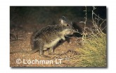 Spectacled Hare Wallaby XRY-119 ©Jiri Lochman- Lochman LT