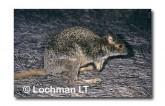 Spectacled Hare Wallaby YGY-788 ©Jiri Lochman-  Lochman LT.