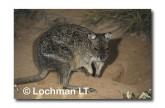 Spectacled Hare Wallaby YGY-789 ©Jiri Lochman-  Lochman LT.