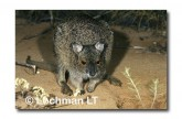 Spectacled Hare Wallaby YGY-791 ©Jiri Lochman- Lochman LT