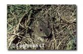 Spectacled Hare Wallaby YYY-304 ©Jiri Lochman- Lochman LT