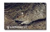 Spectacled Hare Wallaby YYY-532 ©Jiri Lochman-  Lochman LT.