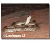 Pseudonaja mengdeni Western Brown Snake AED-830 ©Marie Lochman- Lochman LT.