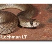 Pseudonaja mengdeni Western Brown Snake LLN-137 ©Jiri Lochman- Lochman LT.