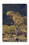 Helena-Aurora Range-eucalyptus in sunset AW-055  © Marie Lochman LT