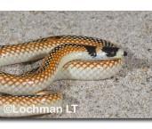 Black-striped Snake LLD-741 © Lochman Transparencies
