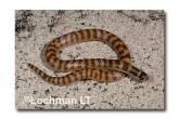 Brachyurophis semifasciatus Southern Shovel-nosed Snake LLD-024 © Lochman Transparencies