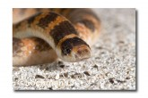 Brachyurophis semifasciatus Southern Shovel-nosed Snake LLD-031 © Lochman Transparencies