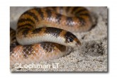 Brachyurophis semifasciatus Southern Shovel-nosed Snake LLD-036 © Lochman Transparencies