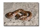 Brachyurophis semifasciatus Southern Shovel-nosed Snake LLD-043 © Lochman Transparencies