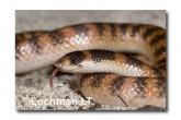 Brachyurophis semifasciatus Southern Shovel-nosed Snake LLD-048 © Lochman Transparencies