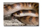 Brachyurophis semifasciatus Southern Shovel-nosed Snake LLD-050 © Lochman Transparencies