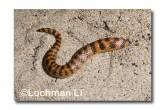 Brachyurophis semifasciatus Southern Shovel-nosed Snake LLD-070 © Lochman Transparencies