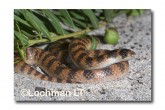 Brachyurophis semifasciatus Southern Shovel-nosed Snake LLD-079 © Lochman Transparencies