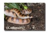 Brachyurophis semifasciatus Southern Shovel-nosed Snake LLD-089 © Lochman Transparencies