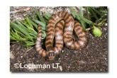 Brachyurophis semifasciatus Southern Shovel-nosed Snake LLD-093 © Lochman Transparencies