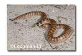 Brachyurophis semifasciatus Southern Shovel-nosed Snake LLE-063 © Lochman Transparencies