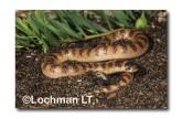 Brachyurophis semifasciatus Southern Shovel-nosed Snake PEY-336 ©Jiri Lochman- Lochman LT