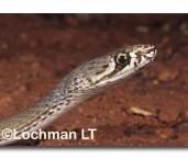 Demansia olivacea Olive Whipsnake PCY-082 ©Jiri Lochman- Lochman LT