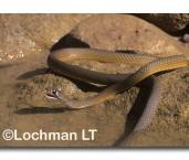 Demansia olivacea Olive Whipsnake XGY-213 ©Jiri Lochman- Lochman LT
