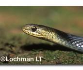 Hemiaspis signata Black-bellied Swamp Snake PBY-264 ©Jiri Lochman- Lochman LT