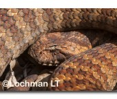 Acanthophis antarcticus Common Death Adder LLM-756 ©Jiri Lochman LT