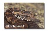 Acanthophis antarcticus Common Death Adder PCY-102 ©Jiri Lochman- Lochman LT