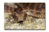 Acanthophis antarcticus Common Death Adder PCY-118 ©Jiri Lochman- Lochman LT
