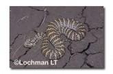 Acanthophis antarcticus Death Adder GSY-450 ©Gunther Schmida- Lochman LT.
