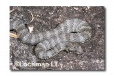 Common Death Adder LLF-597 © Lochman Transparencies