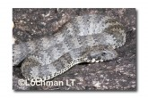 Common Death Adder LLF-599 © Lochman Transparencies