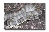 Common Death Adder LLF-599 © Lochman Transparencies