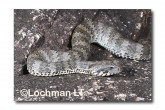 Common Death Adder LLF-601 © Lochman Transparencies