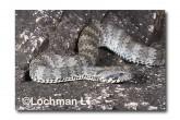 Common Death Adder LLF-601 © Lochman Transparencies