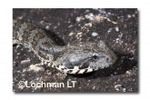 Common Death Adder LLF-603 © Lochman Transparencies